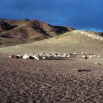 Herding in Upper Tibet
