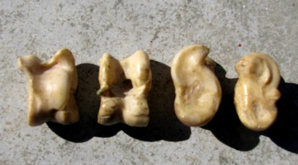Fig. 3: Ovicaprid astragali. From left to right, sheep side, goat side, horse side, donkey side.