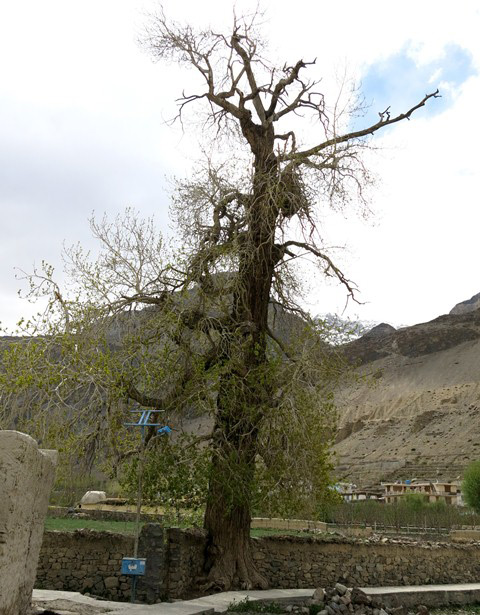 Fig. 14. A sacred poplar tree in Tabo, the haunts of local spirits. This might be the oldest specimen of this species in Spiti.