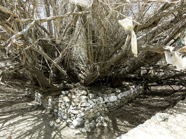 Fig. 19. An ancient willow tree at the temple in Lhalung. According to local folklore, it sprouted when the famous propagator of Buddhism, Lotswa Rinchen Sangpo planted his walking stick in the ground at this location. It appears that this action subdued the local water spirits, permitting a Buddhist chapel to be founded there.
